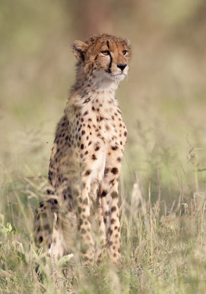 Young Cheetah in the evening light - Ndutu Plains Tanzania