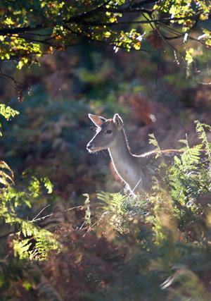 Fallow Deer hind under Oak trees in the early morning light.
