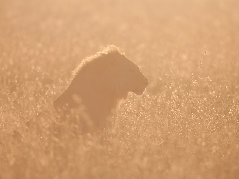Young male lions in early morning sun lens used canon 600mm f4 camera