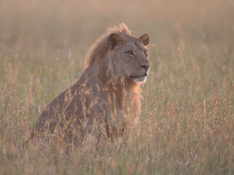 east african lions Where do lions live in africa, the use may vary from a symbol of power and royalty in west africa to a symbol of laziness in other east african traditions.