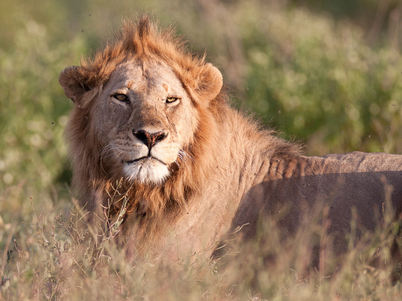 The Best Places to See Wild Lions in Africa